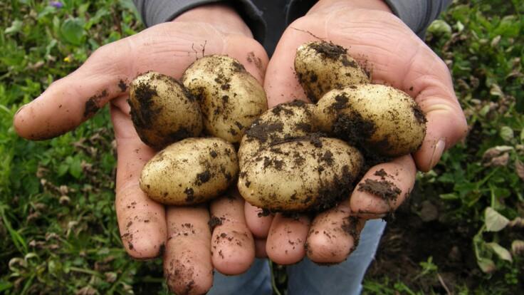 Украину заполнил импортный картофель — вырастет ли цена
